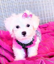 Adorable Tiny Maltese Puppies Available contact{dalvinbenson100@gmail.com }or call 716-371-1802