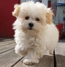 ✔ ✔Stunning Maltipoo Puppies ✔ ✔