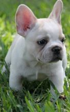 Montreal French Bulldog Dogs Puppies For Sale Classifieds