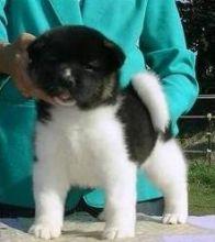 Beautiful Akita Puppies for any pet loving home .. EMAIL us at (rickiedonavan4@mail.com)
