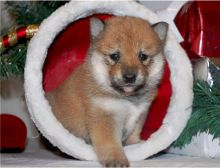 Family raised Shiba Inu puppies for adoption//EMAIL us at (riickkdonavan-7@mail.com)