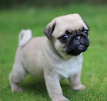Healthy Male and Female Pug Puppies For Adoption