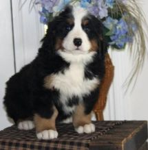 Male and female Bernese Mountain dog puppies for adoption.