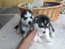 Pure Bred Full Pedigree Siberian Husky Puppies