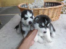 Pure Bred Full Pedigree Siberian Husky Puppies