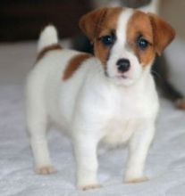 Pure Jack Russell Puppies for new homes