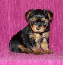 Yorkie Puppies Available. (CKC Reg)
