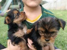 13 weeks Old Purebred teacup yorkie Puppies With Papers.