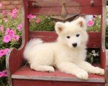 🎄🎄 Ckc ☮ Male 🐕 Female 🎄 Samoyed Puppies ☮ Ready 🏠💕Delivery is possible🌎✈