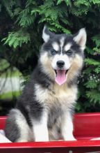 🎄🎄 Ckc ☮ Male 🐕 Female 🎄 Siberian Husky Puppies 🏠💕Delivery is possible🌎✈️