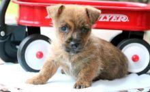 Amazing Cairn Terrier puppies!
