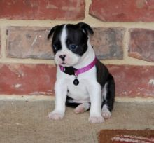 Beautiful Black brindle and white Boston Terrier Puppies