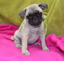 Friendly and well behaved white pug for free