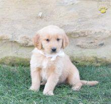 Golden Retriever Puppies Available. (CKC Reg)