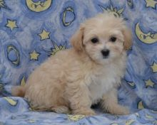 Maltipoo Puppies Available. (CKC Reg)