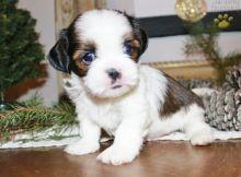 Shih Tzu Puppies Available. (CKC Reg)