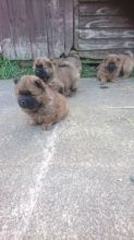 Beautiful and Healthy Chow Chow Puppies for magnificent homes