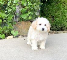 🏠💕 Ckc ☮ Male 🐕 Female 🎄 Bichon Frise Puppies 🏠💕Delivery is possible🌎✈️
