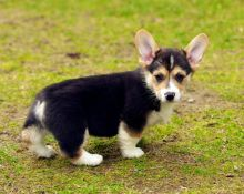 🎄 Lovely male and female Pembroke Welsh Corgi Puppies for Adoption 🎄