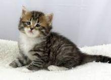 Super adorable Siberian kittens.