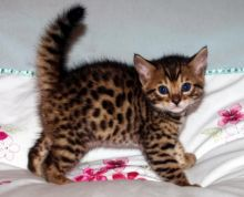 Cute and lovely Bengal kittens Image eClassifieds4U