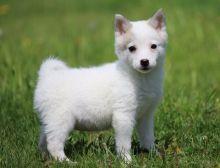 Alaskan Klee Kai puppies