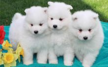 🐶🐕🌎🔔Gorgeous Samoyed Puppies Available🌎🔔 🐶🐕