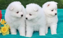 🌎🔔Gorgeous Samoyed Puppies Available🌎🔔