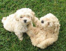 Maltipoo Puppies Still Available