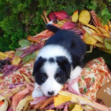 Super Border Collie puppies male and female ready for new homes