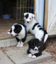 💞Cute Border Collie puppies Available 💞