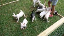 Affectionate Bull Terrier puppies for adoption