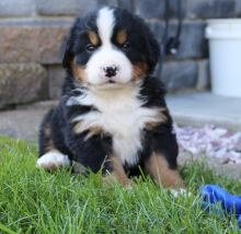 Bernese Mountain Dog Puppies Available.