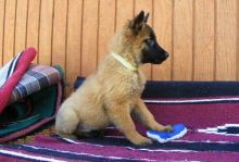 Male and Female Belgian Malinois Puppies