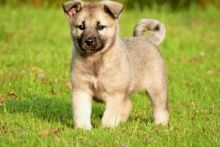 Norwegian Elkhound puppies For adoption