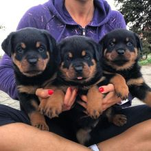 Rottweiler Puppies Available : Call or text 470-729-0284