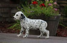 Black Spotted Dalmatian Pups For Sale.-Text now (204) 817-5731