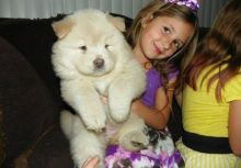 Home Raised Cream Chow Chow Puppies Ready Now-Text on ( 204-817-5731)