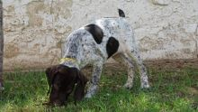 Home Raised German Shorthaired Pointer Puppies For Sale-Text on ( 204-817-5731)