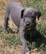 Super Cute Great Dane Puppies For Sale-Text now (204) 817-5731