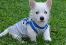 West Highland Terrier Puppies For Good Homes-Text now (204) 817-5731