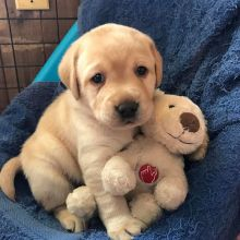 Two Lovely Labrador retriever puppies available.