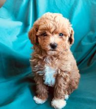 🎄🎄 Ckc ☮ Male 🐕 Female 🎄 Toy Poodle Puppies 🎄🎄 Image eClassifieds4U