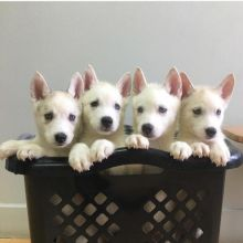 Pure breed Siberian Husky pups available text/call @ +14342334396