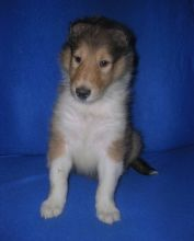 Collie puppies now