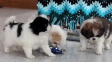 Japanese Chin pups for adoption.