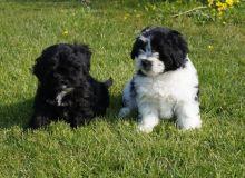 A beautiful litter of Shihpoo puppies