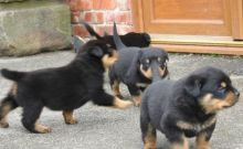 Beautiful Rottweiler puppies for pet lovers.