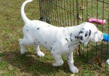 CKC registered Dalmatian Puppies