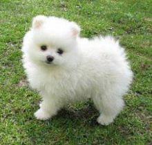 Cute CKC registered Pomeranian puppies